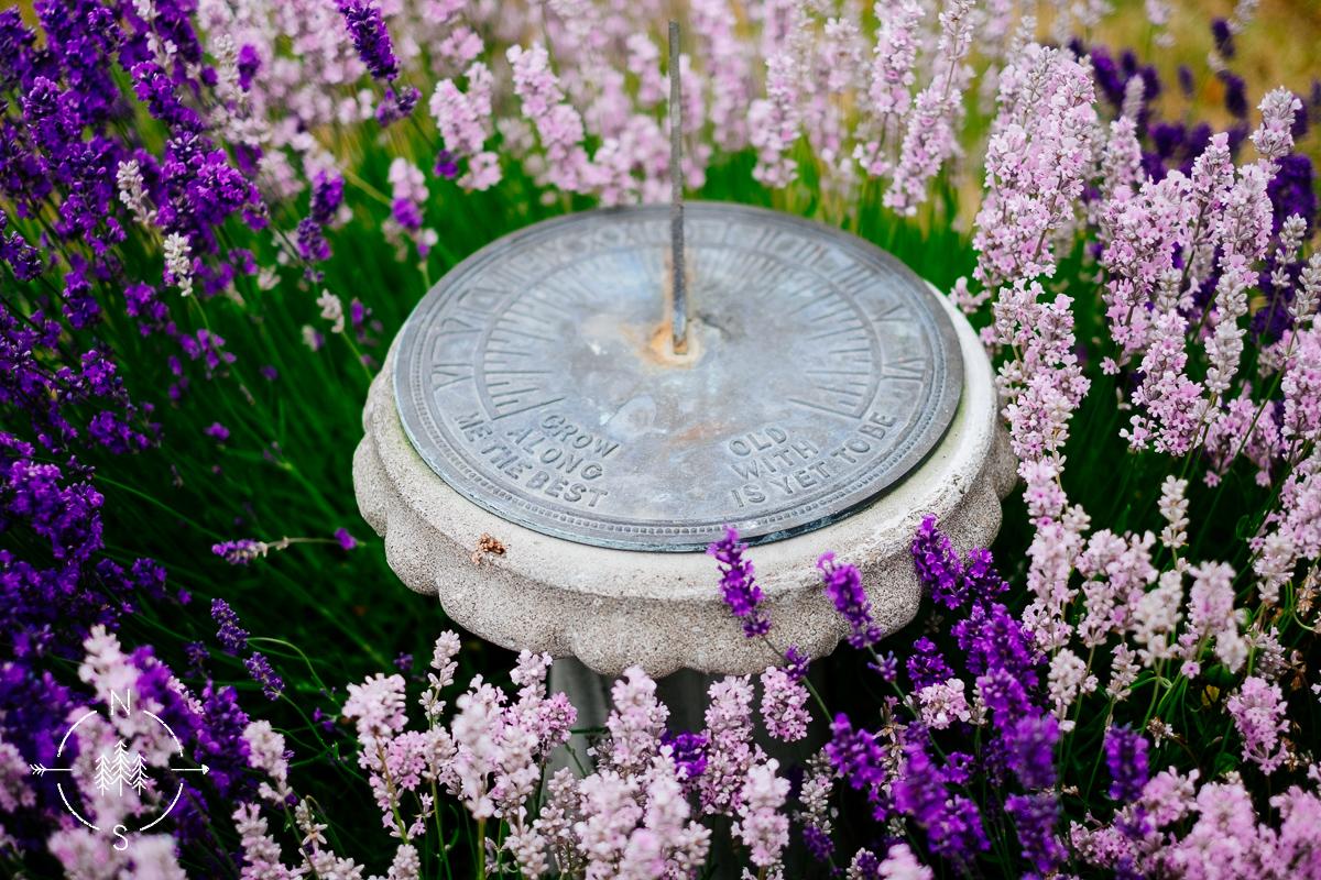 Antique sundial nestled in lavender blooms.