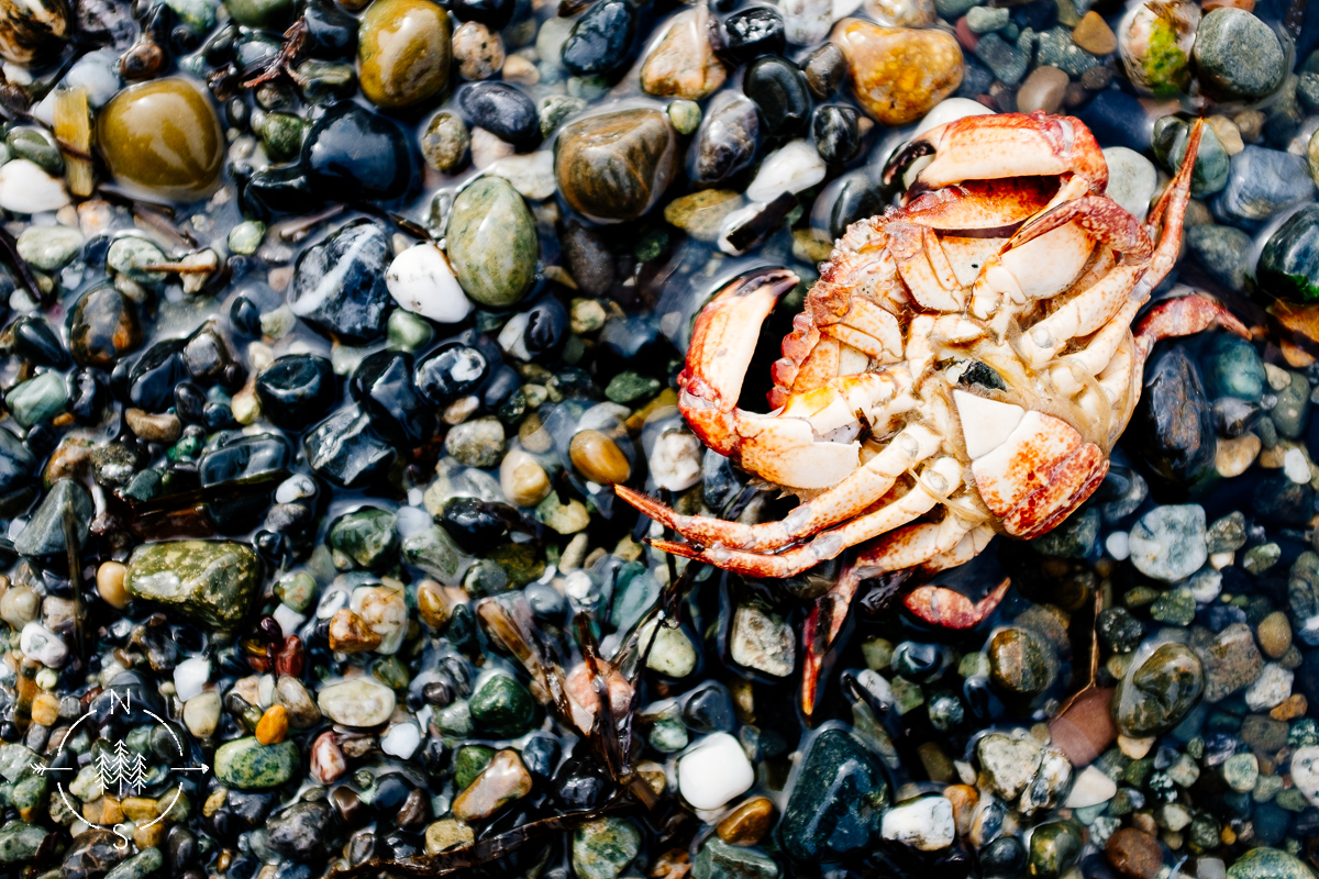 crab upside down on the rocky shores of Whidbey Island